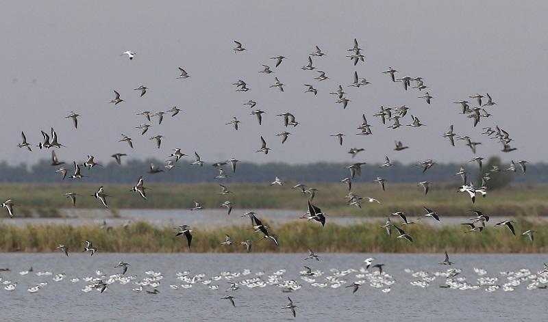 45万只候鸟云集北大港湿地 近危物种震旦鸦雀现身